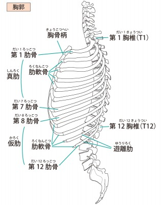 胸郭のイラスト